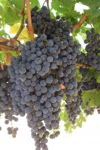 Grapes_email_marketing_workshop_wine_business